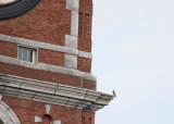 Peregrine relanded in perch mode; NE corner ledge below east clock face