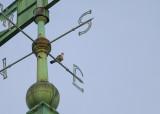 Peregrine perched east weathervane strut