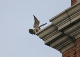 Peregrine landing NW corner below west clock face
