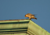 Peregrine with late afternoon snack: SW rooftop
