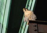 Peregrine on morning perch