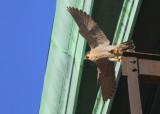 Peregrine departing morning perch