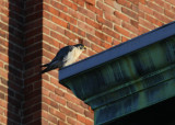 Peregrine perched NW corner of Ideal Box Co. bldg.