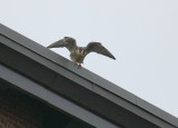 Peregrine: on north edge of NB roof in takeoff mode