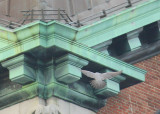 Peregrine in landing mode: upper NE corner clock tower