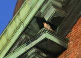 Peregrine on ledge; ledge diag above/to left of west clock face