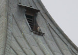 Peregrine: perched north window ledge near top clock tower just below weathervane