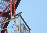 Peregrine perched on tower superstructure
