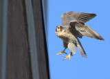 Peregrine: Peregrine: lifting up from antenna