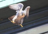 Peregrine: departing lift beam (see leg bands)