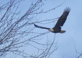 Bald Eagle, adult