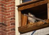 Peregrine: in nesting box