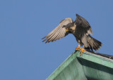 Peregrine: shifting position