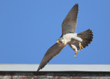 Peregrine: departing roof downglide mode
