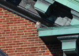 Peregrine perched on east Clock Tower ledge