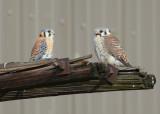 Kestrel pair perched near nest