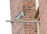 Peregrine: looking in at male incubating eggs