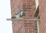 Peregrine: bowing