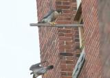Peregrine: male departs below, female on perch