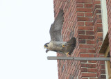 Peregrine: female turns and follows