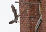 Peregrine: female ready to land on ledge outside nest