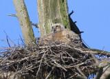 Great Horned Owlet spreading wings