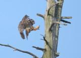Great Horned Owl: mother landing on roost near nest