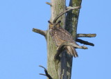 Great Horned Owl perched on roost