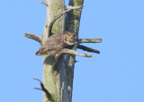 Great Horned Owl: mother in pre-flight launch mode