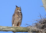 Great Horned Owl: mother perched next to nest