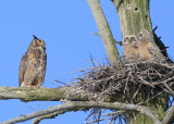 Great Horned Owl: mother just before walking to nest