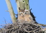 Great Horned Owls: reunited and it feels so good!