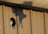 American Kestrel mobbed by Crows