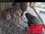 Peregrine male & female with 2 chicks: food exchange
