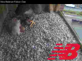 Adult Peregrine: feeding time for 2 chicks continued