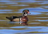 Wood Duck, male