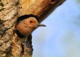 Northern Flicker, female in nest cavity