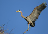 Great Blue Heron landing gear down