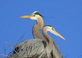 Great Blue Heron pair on nest