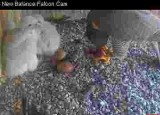 Two falcon chicks, two unhatched eggs, all at feeding time!