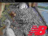 Two falcon chicks, two unhatched eggs, one lazing around; one alert near cam