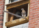 Peregrine chick, male: ready to fledge