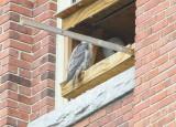 Peregine: adult perched at nest box