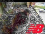 Peregrine chicks with adult: feeding frenzy with a Blue Jay