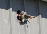 American Kestrel, male sharing with female