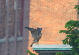 Peregrine, juvenile on rooftop flapping wings