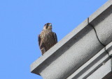 Peregrine, juvenile on upper Clock Tower