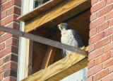 Peregrine adult perched on nest box