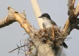 Eastern Kingbird on nest