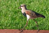 birds_of_brasil